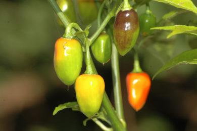 Mestnyj Iz Ternovka - Capsicum annuum - variedad de chile