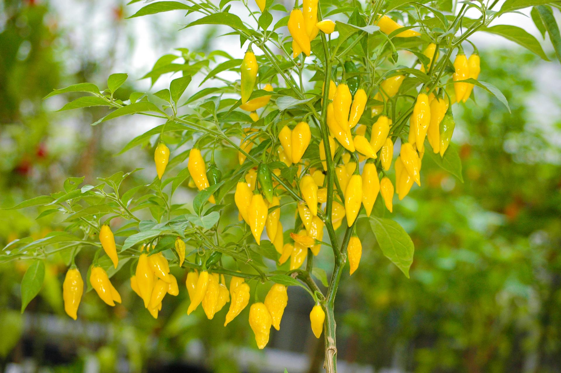1560 - Capsicum annuum - Chilisorte
