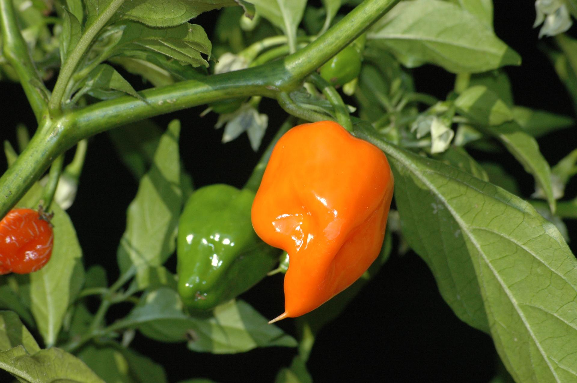 Lo 12 - Capsicum annuum - variedad de chile