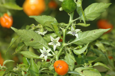 California Wonder 300 Tmr - Capsicum annuum