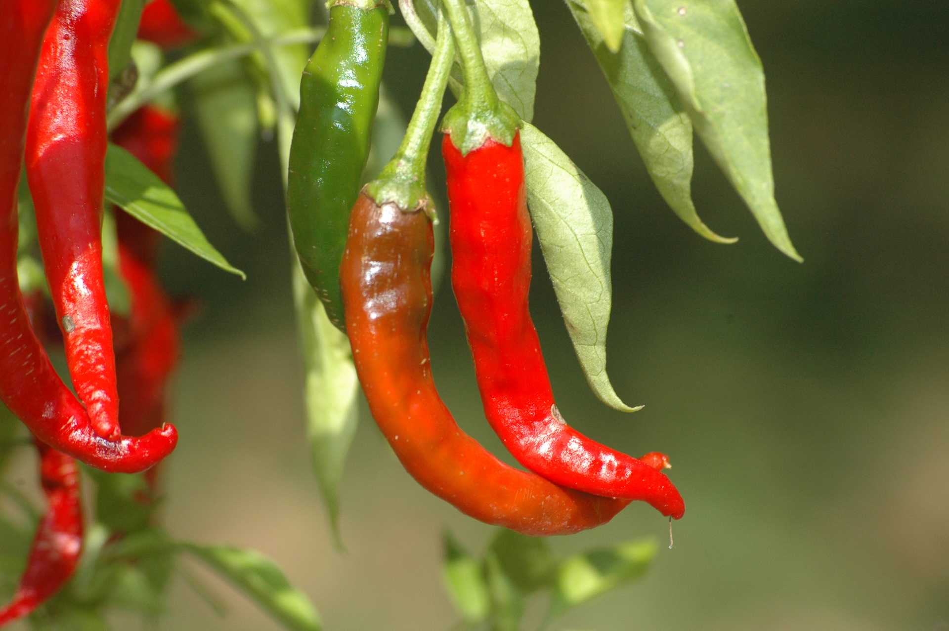 Chile de Arbol - Capsicum annuum - Chilisorte