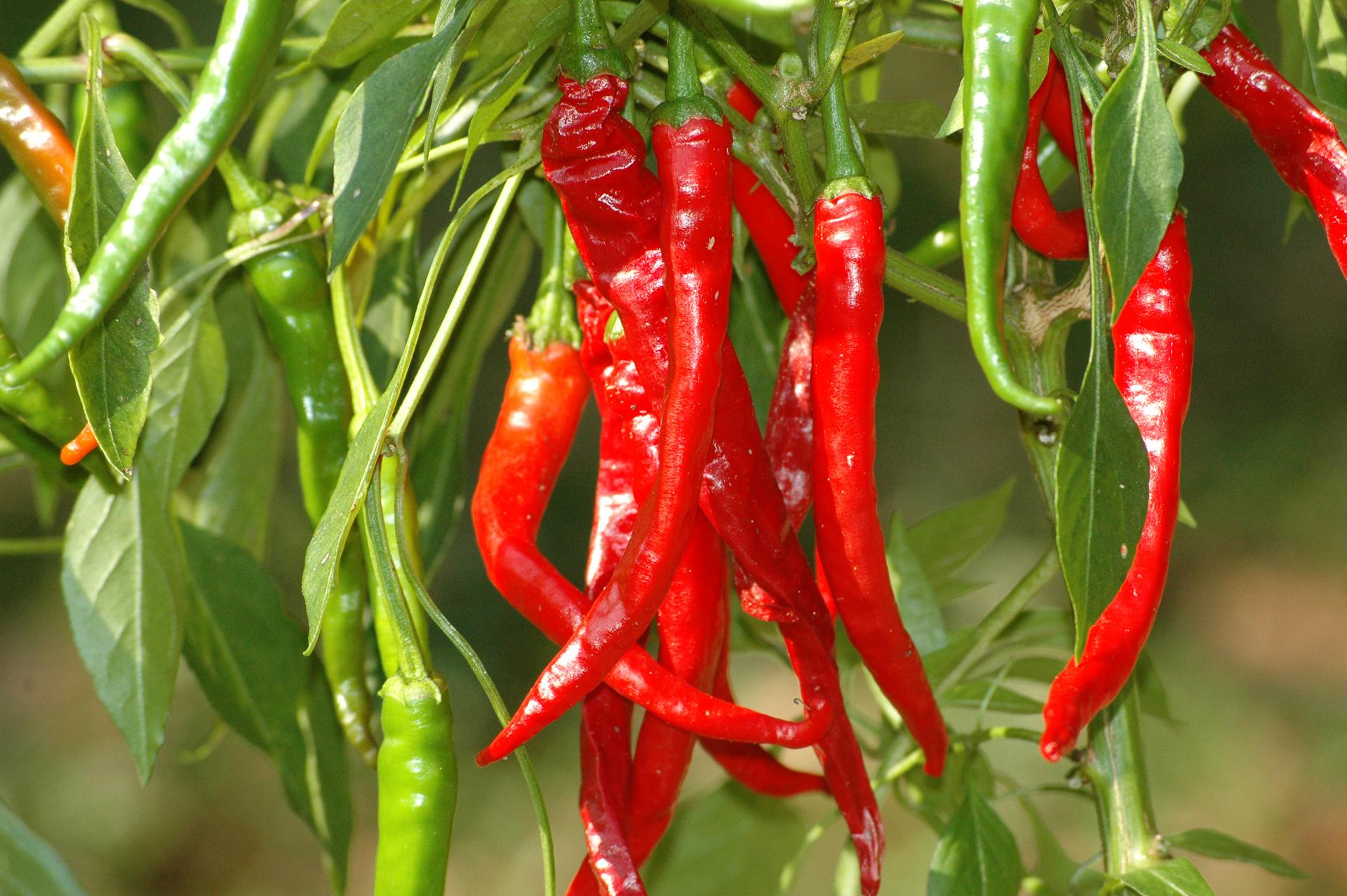 Picante - Capsicum frutescens - Chilisorte
