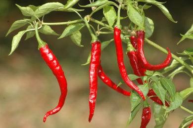 Tabasco pepper - Capsicum frutescens