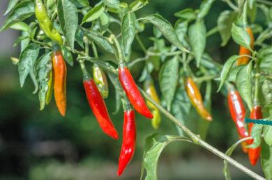BRA 00034923-3 - Capsicum annuum - variedad de chile