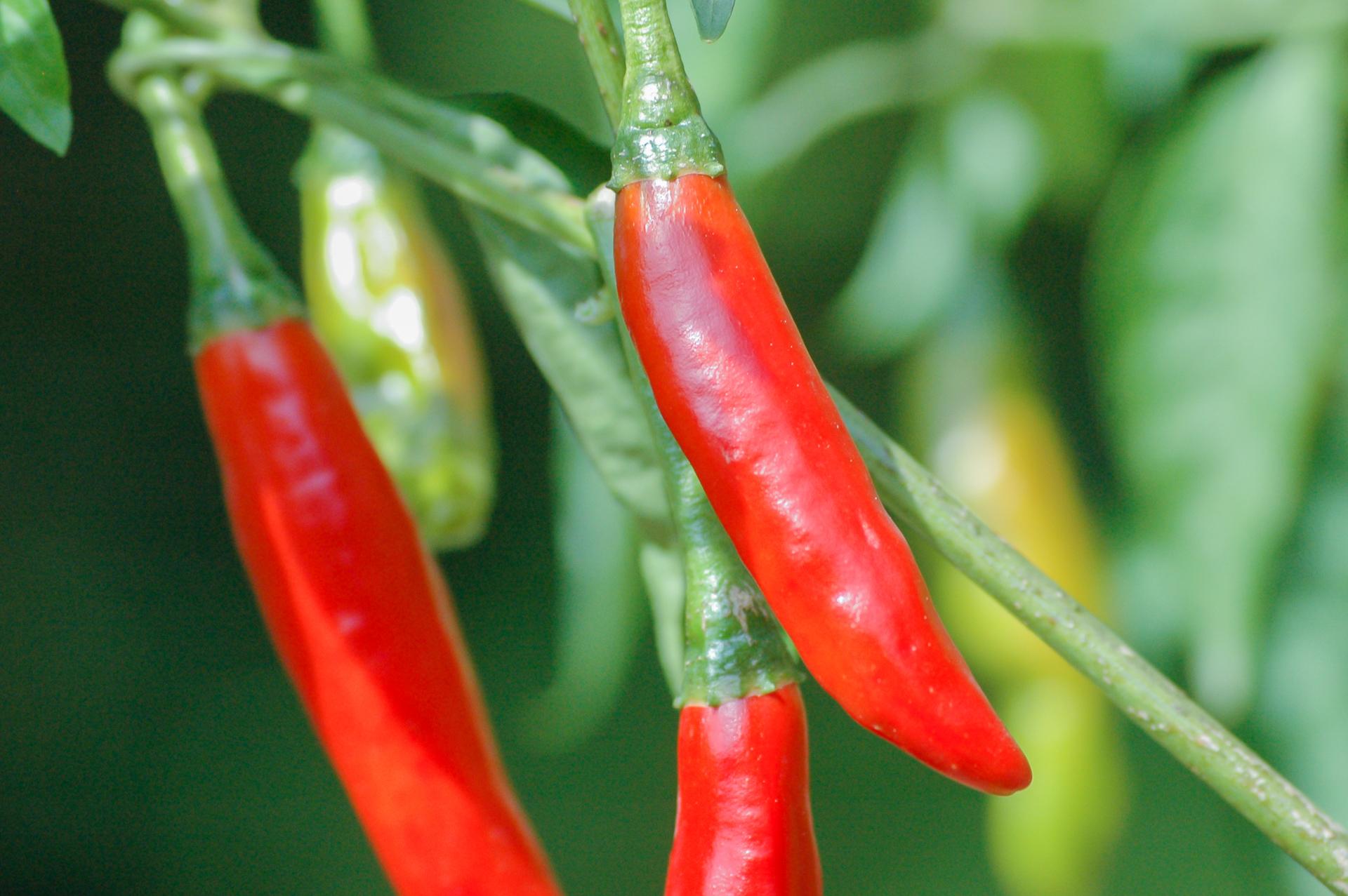 Pick-Me-Quick - Capsicum sp. - Chilisorte