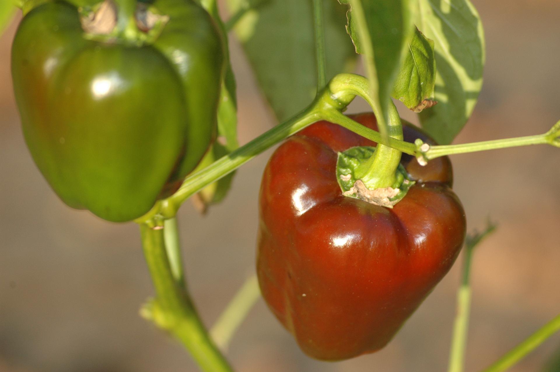 Paprika - Capsicum annuum - Chilisorte