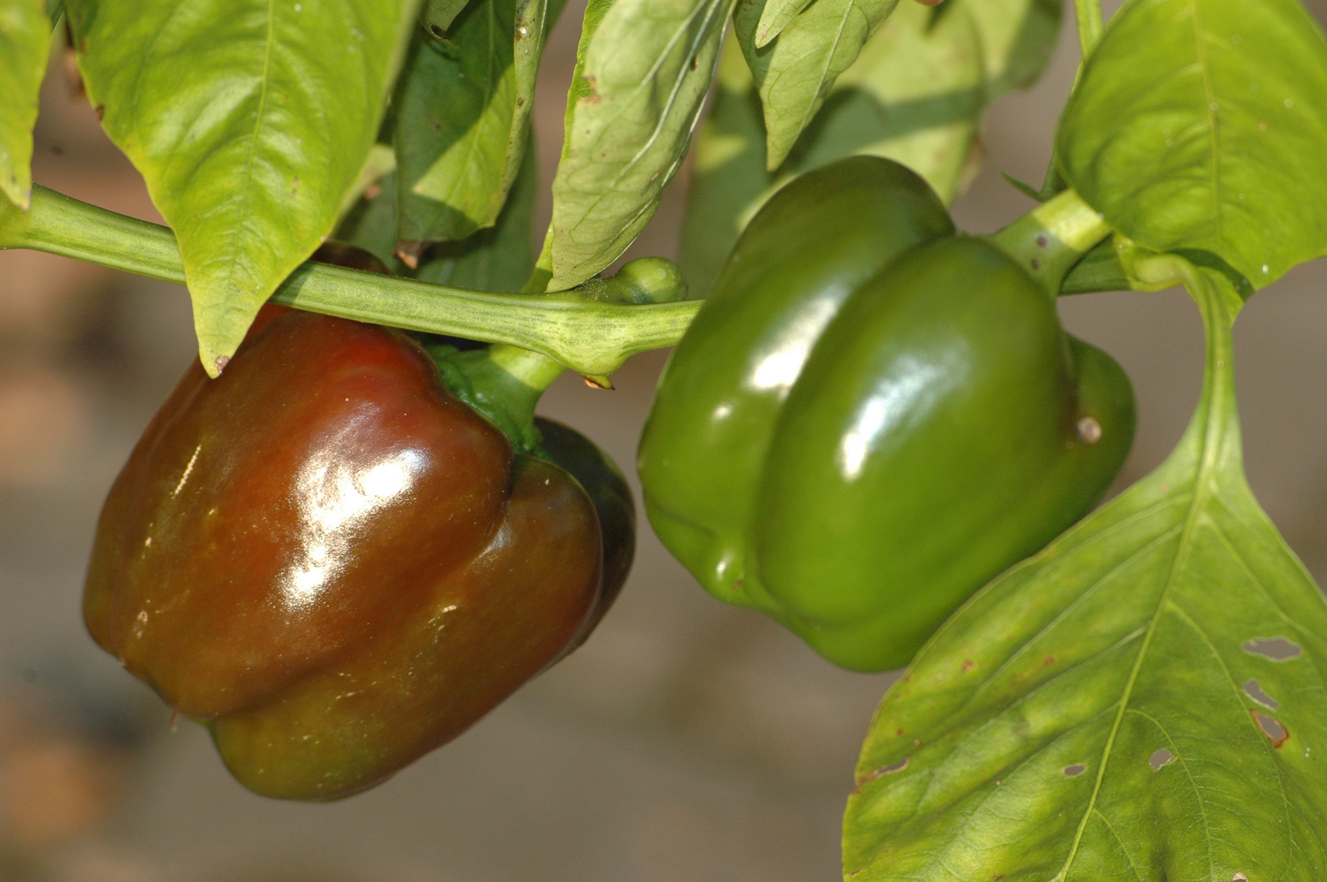 Magda - Capsicum sp. - Chilisorte