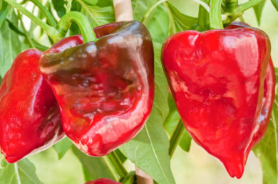 Hot Tree Pepper - Capsicum baccatum