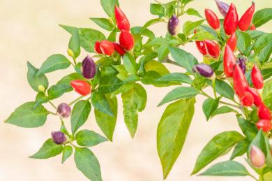 Chile - Capsicum baccatum
