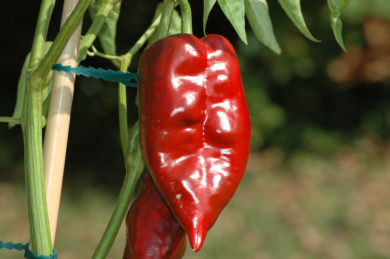 California Wonder 300 - Capsicum annuum