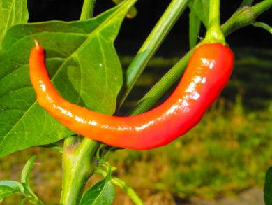 VI012501 - Capsicum pubescens