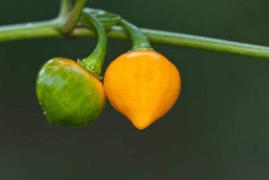 Criollo Dulce - Capsicum annuum