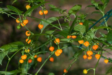 Chile - Capsicum chinense