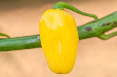 Chile Pepe - Capsicum annuum - variedad de chile