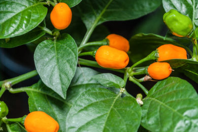 CAP 987 - Capsicum frutescens
