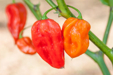 Francouzka Kratka - Capsicum annuum - variedad de chile