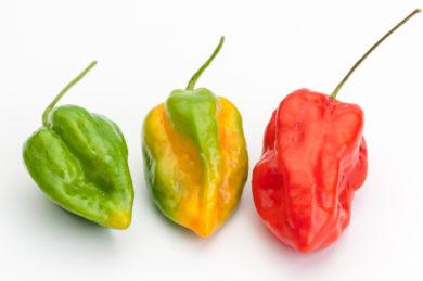 Chelli Cabai - Capsicum annuum - variedad de chile