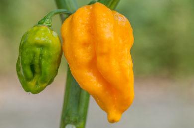 Sweet pepper - Capsicum annuum