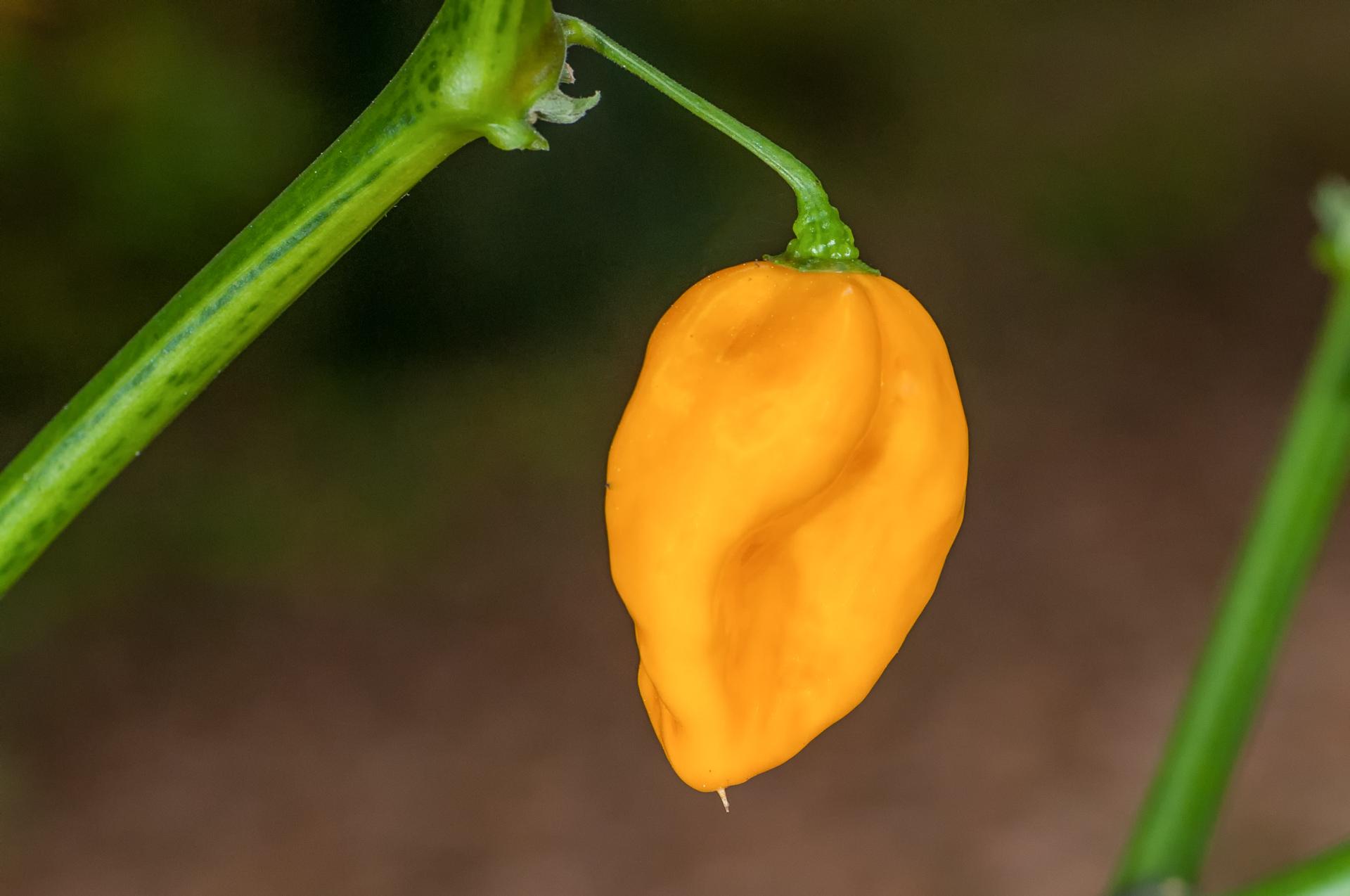 PI 260563 - Capsicum baccatum - Chilisorte