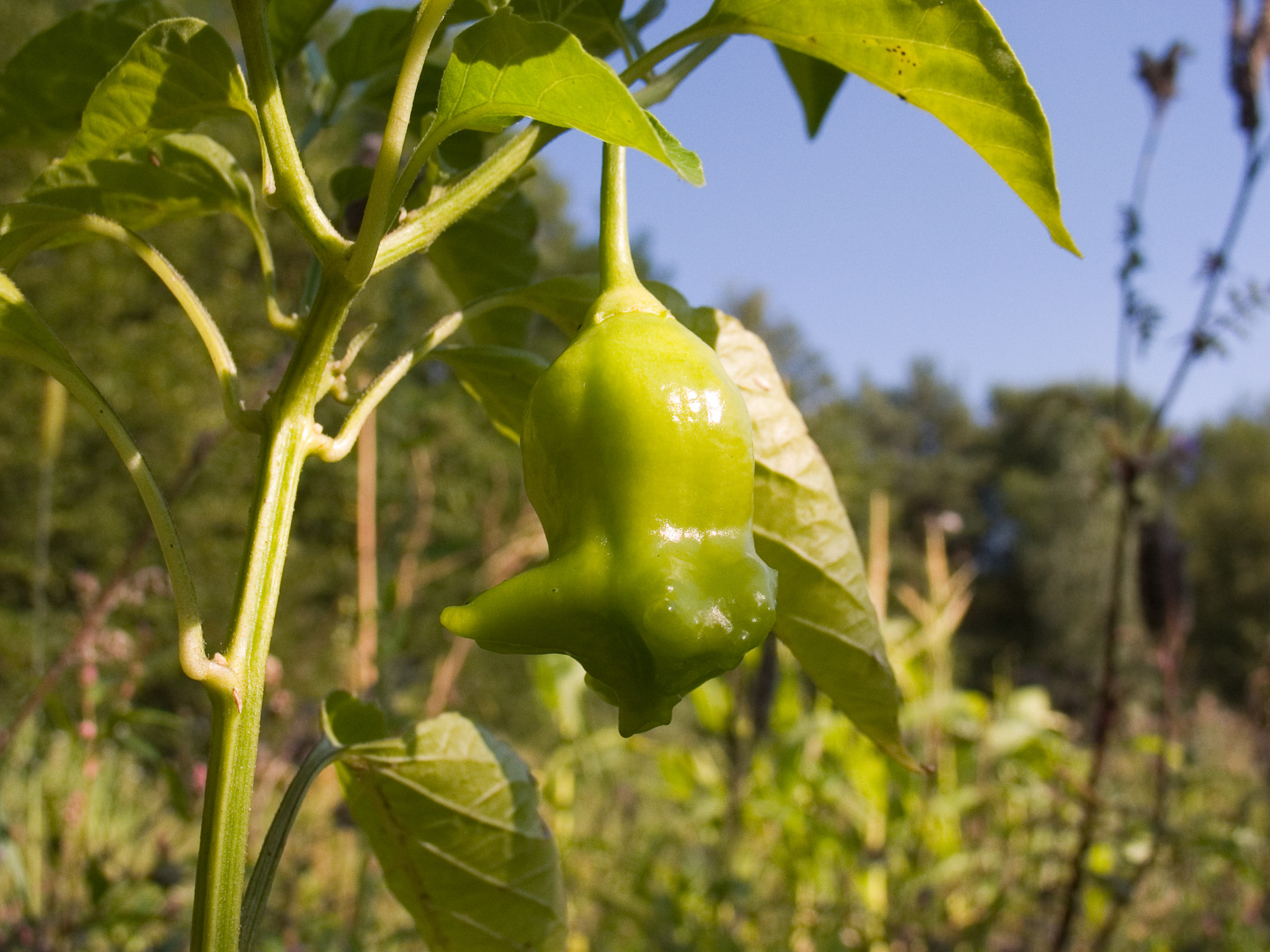 Numex Eclipse - Capsicum sp. - Chilisorte