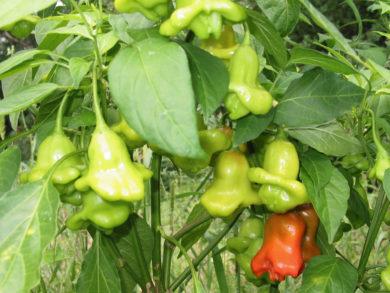 Chile Dulce Milfruto - Capsicum annuum