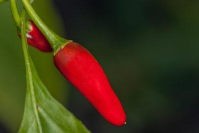 BPGV07528 - Capsicum annuum - variedad de chile