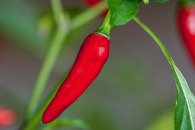 Spanish Spice - Capsicum annuum