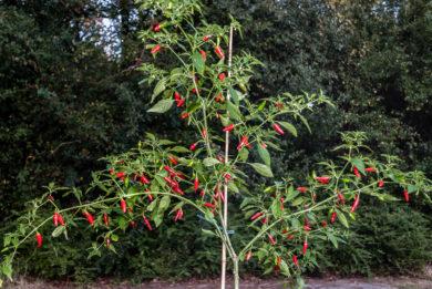 Pepper - Capsicum annuum