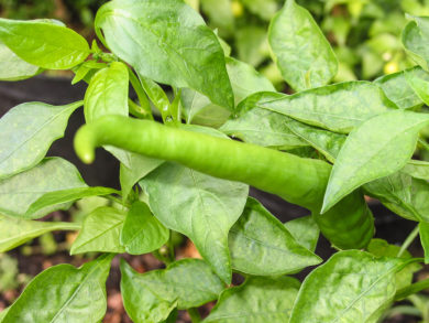 Golden Bell - Capsicum annuum