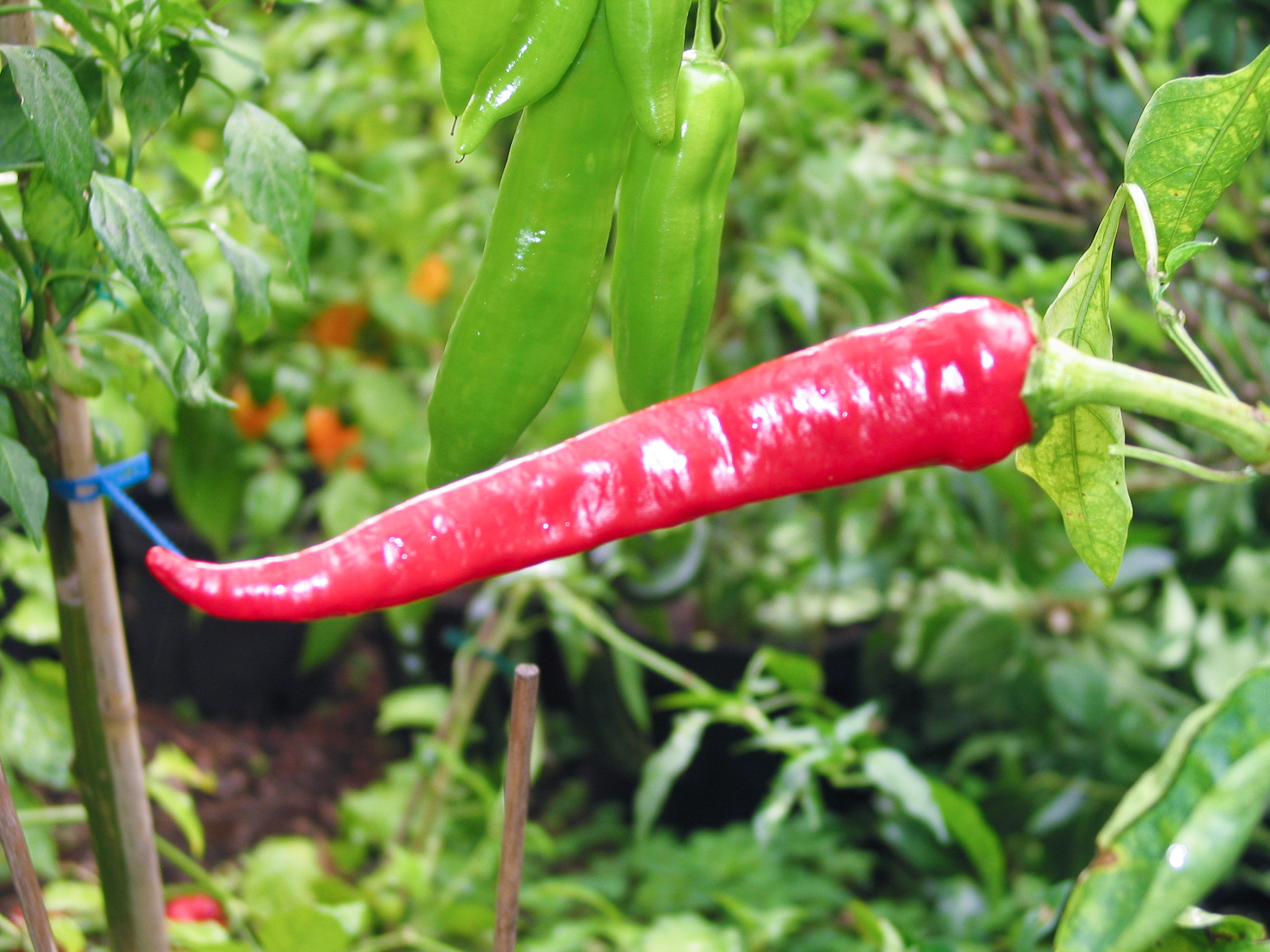 PI 487447 - Capsicum sp. - Chilisorte