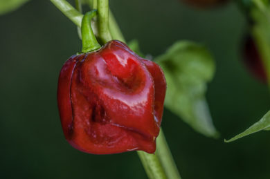 Red Lamuyo - Capsicum annuum
