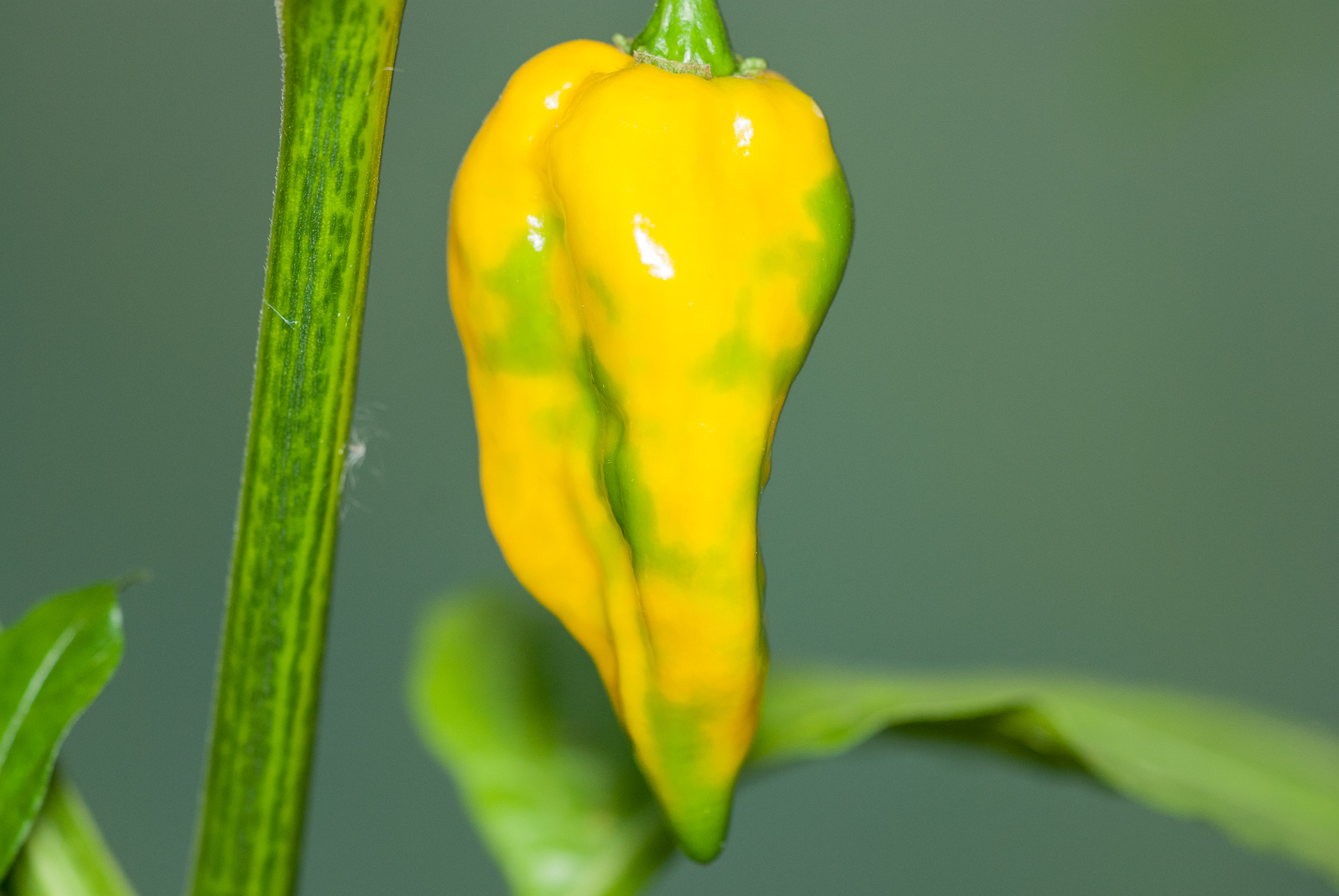 Mirasol - Capsicum annuum - Chilisorte