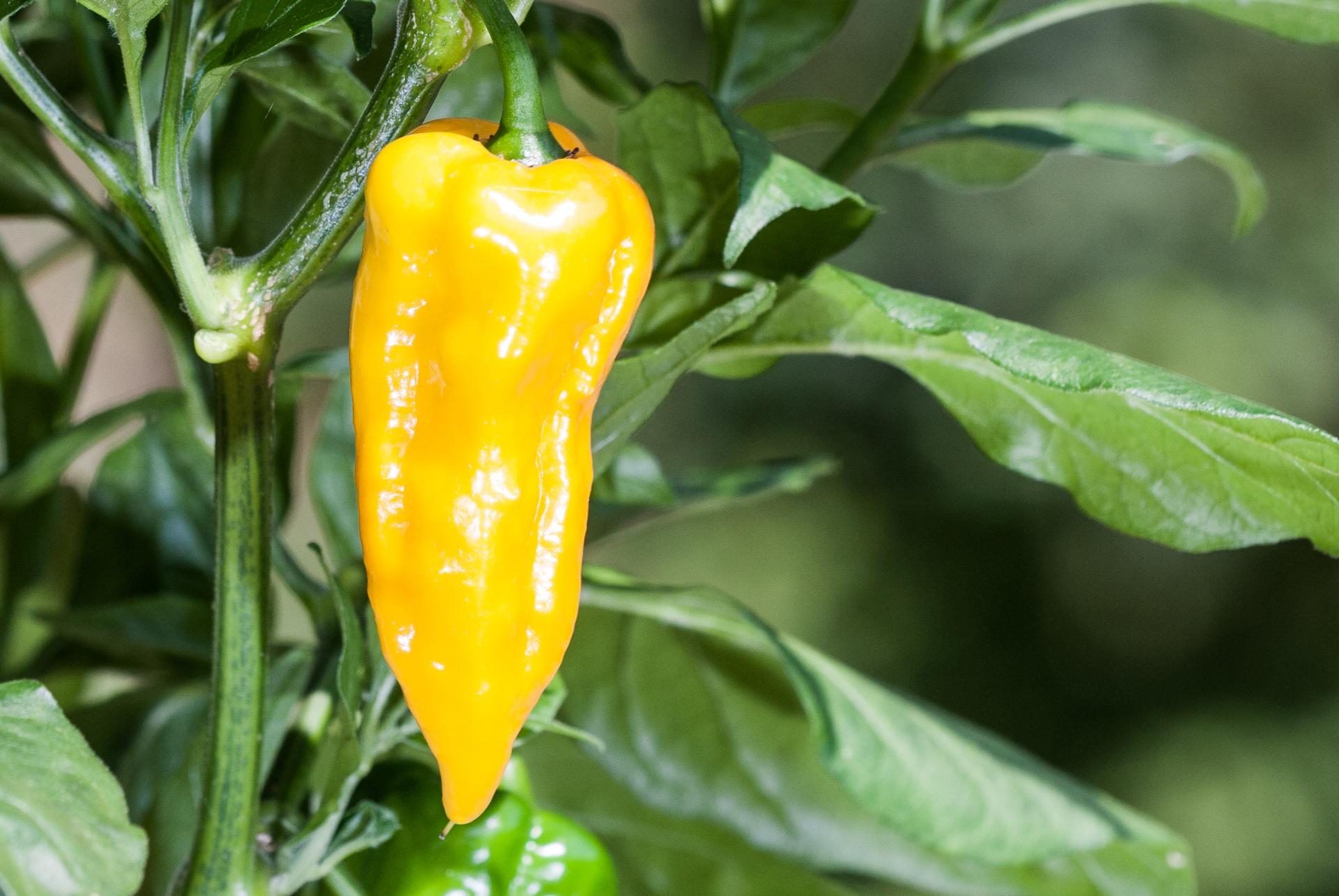 Num-640 - Capsicum annuum - variedad de chile