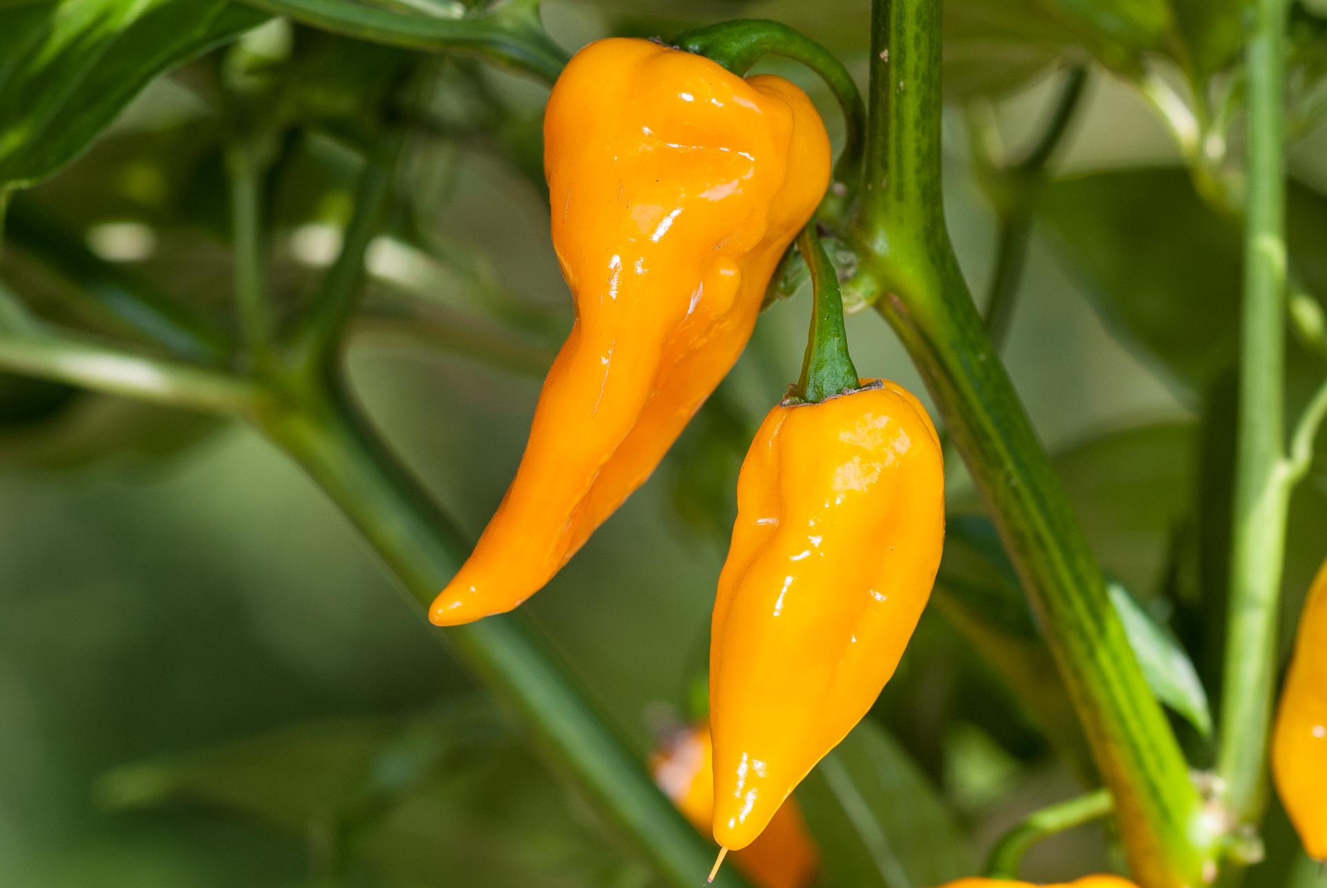 CAP 1060 - Capsicum sp. - Chilisorte
