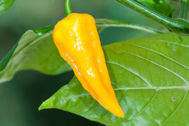 Indian Pc 1 - Capsicum sp.