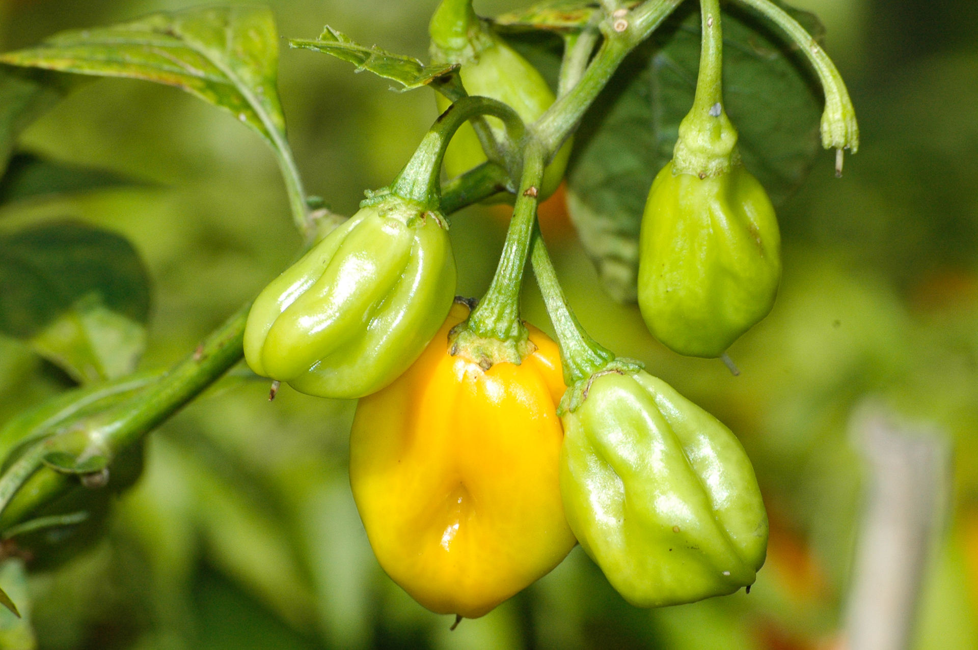 PI 653679 - Capsicum frutescens - Chilisorte