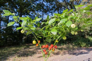Cayenne pepper - Capsicum frutescens