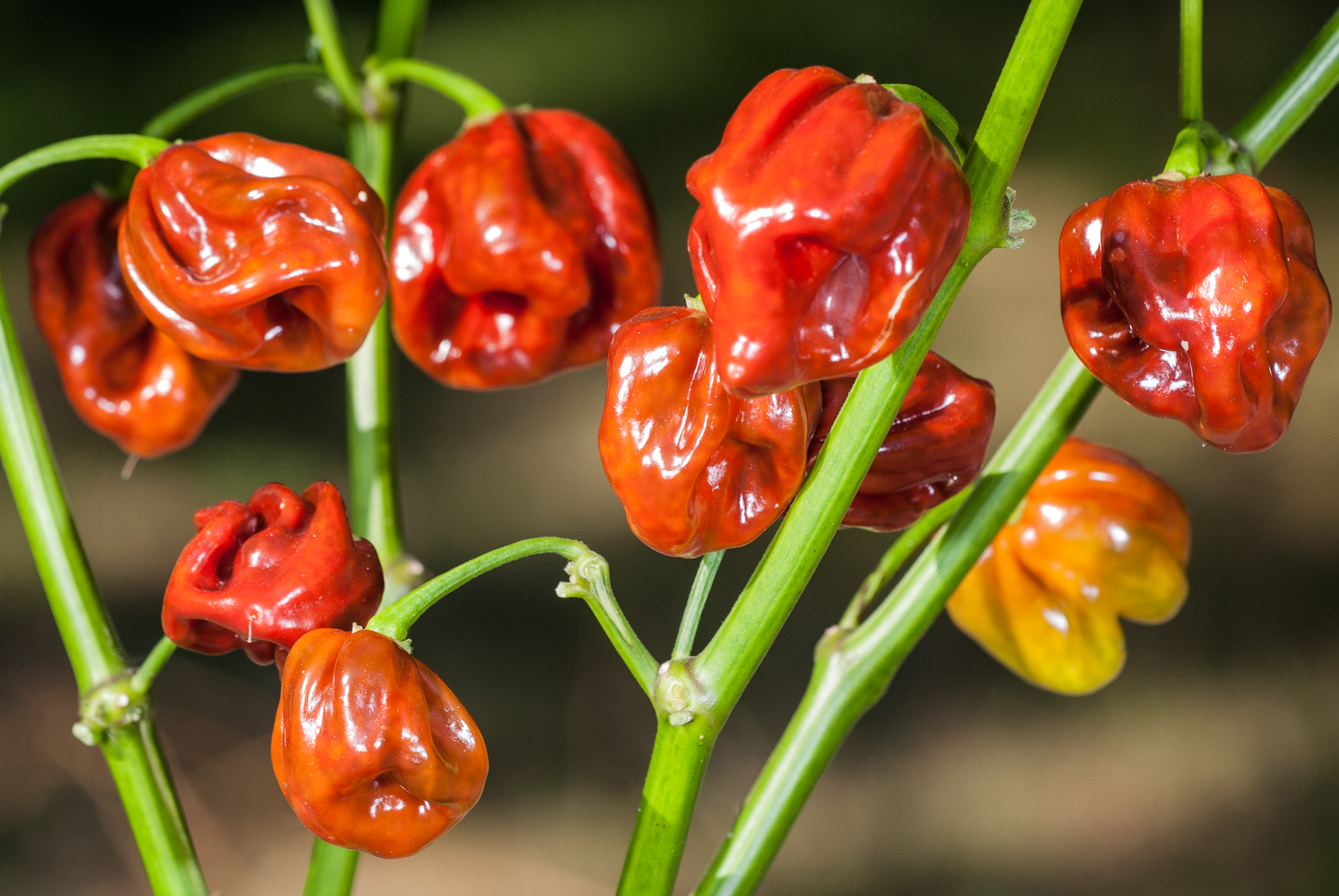 BPGV06235 - Capsicum annuum - variedad de chile