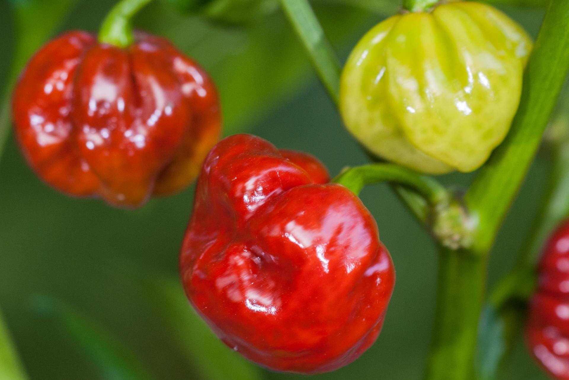 Grif 15020 - Capsicum flexuosum - Chilisorte