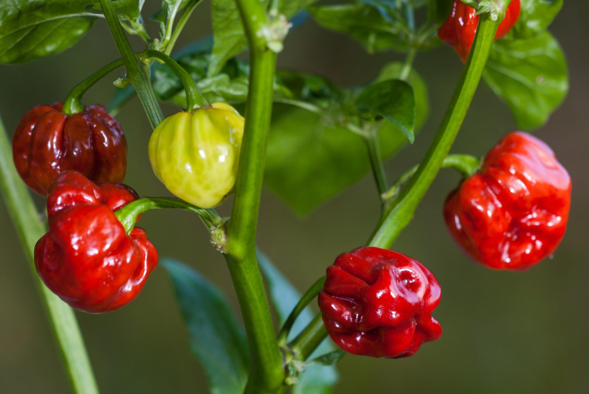 Byala Kapiya - Capsicum annuum - variedad de chile