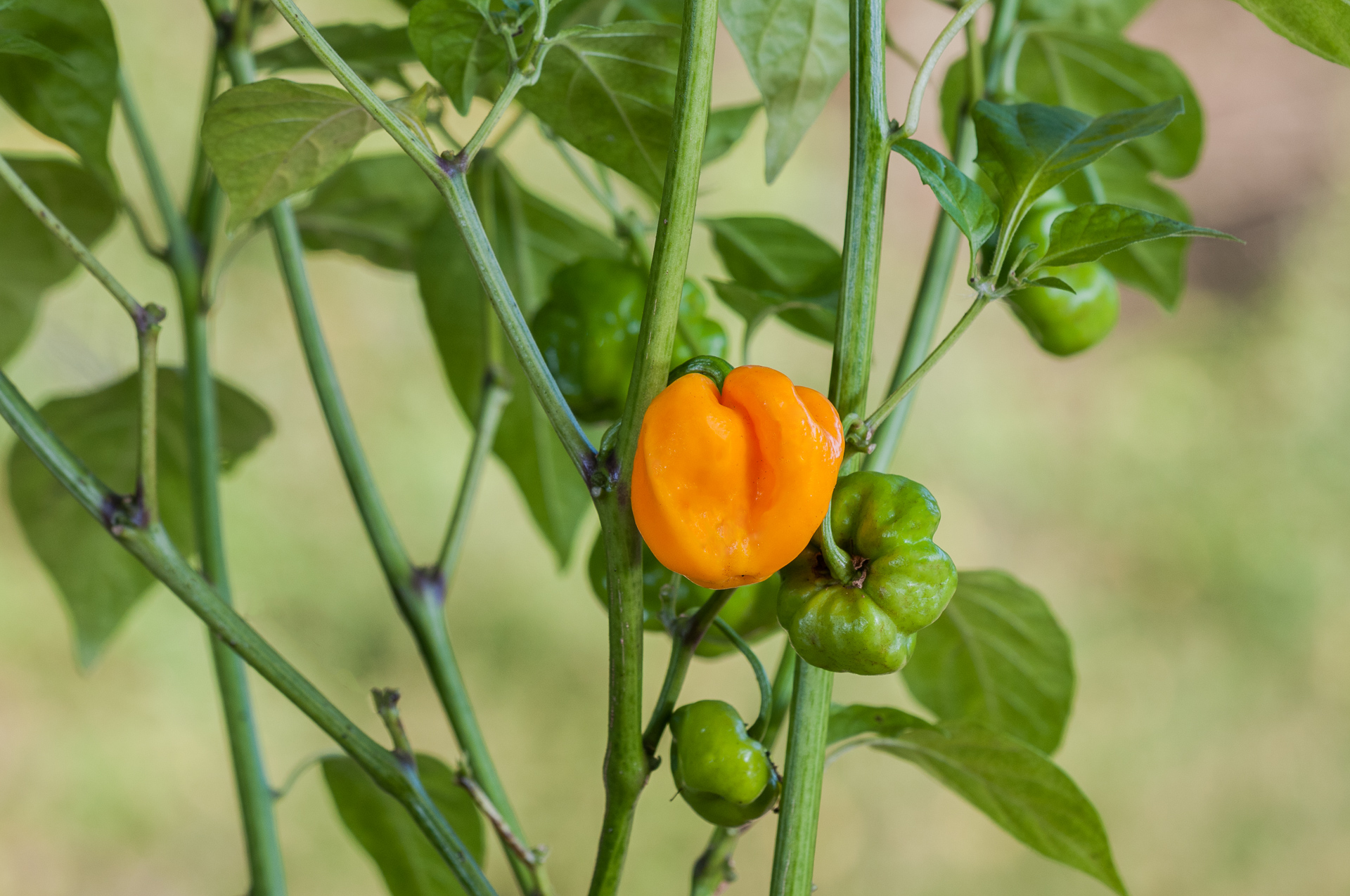 Phrik Khee Nuu - Capsicum sp. - Chilisorte