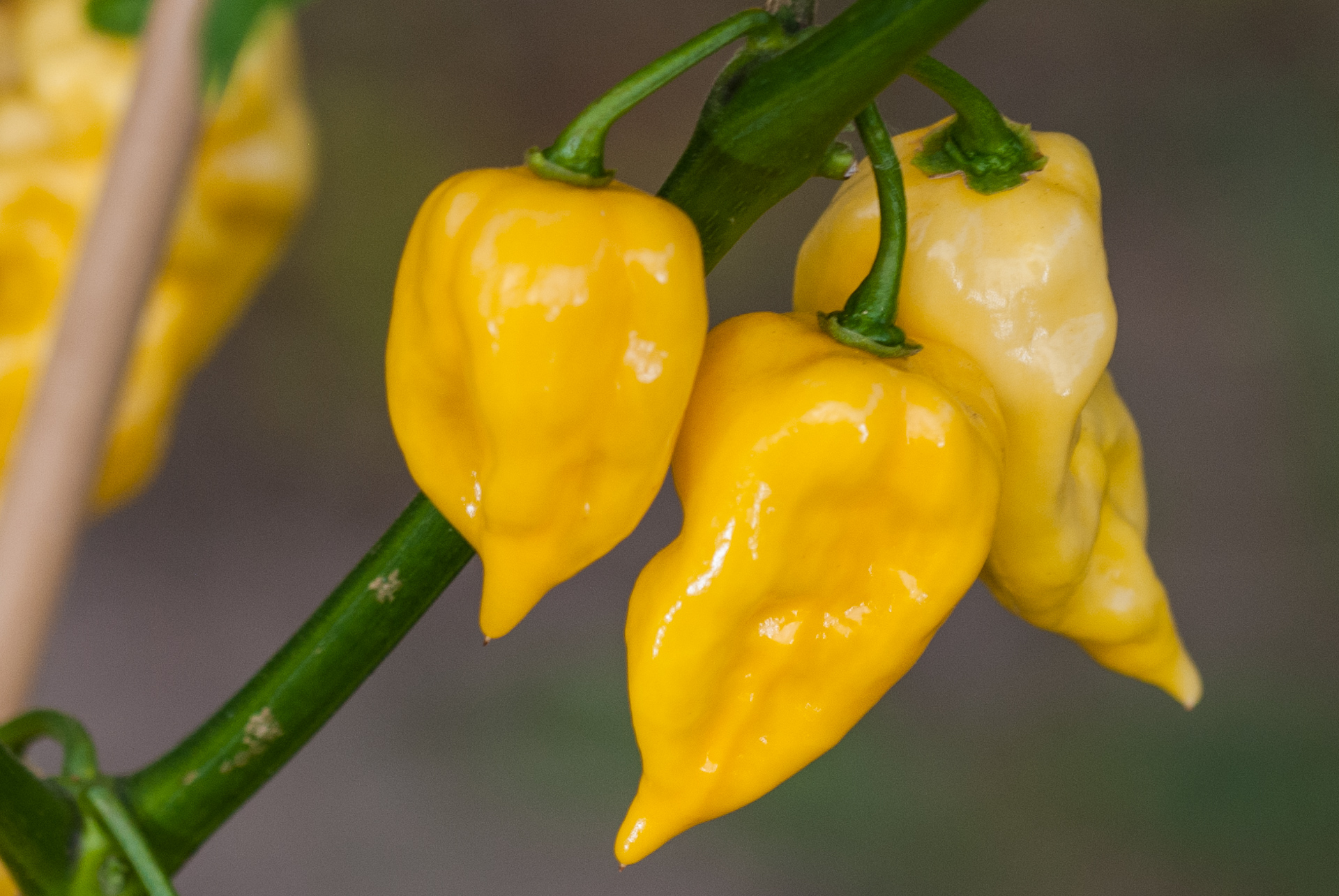 Veleska Dolga - Capsicum annuum - Chilisorte