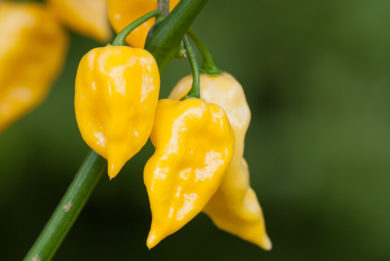 Ft - 19 Giallo F6 - Capsicum annuum