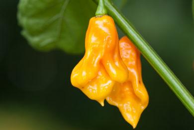Pimiento de Bola Alargado - Capsicum annuum - variedad de chile