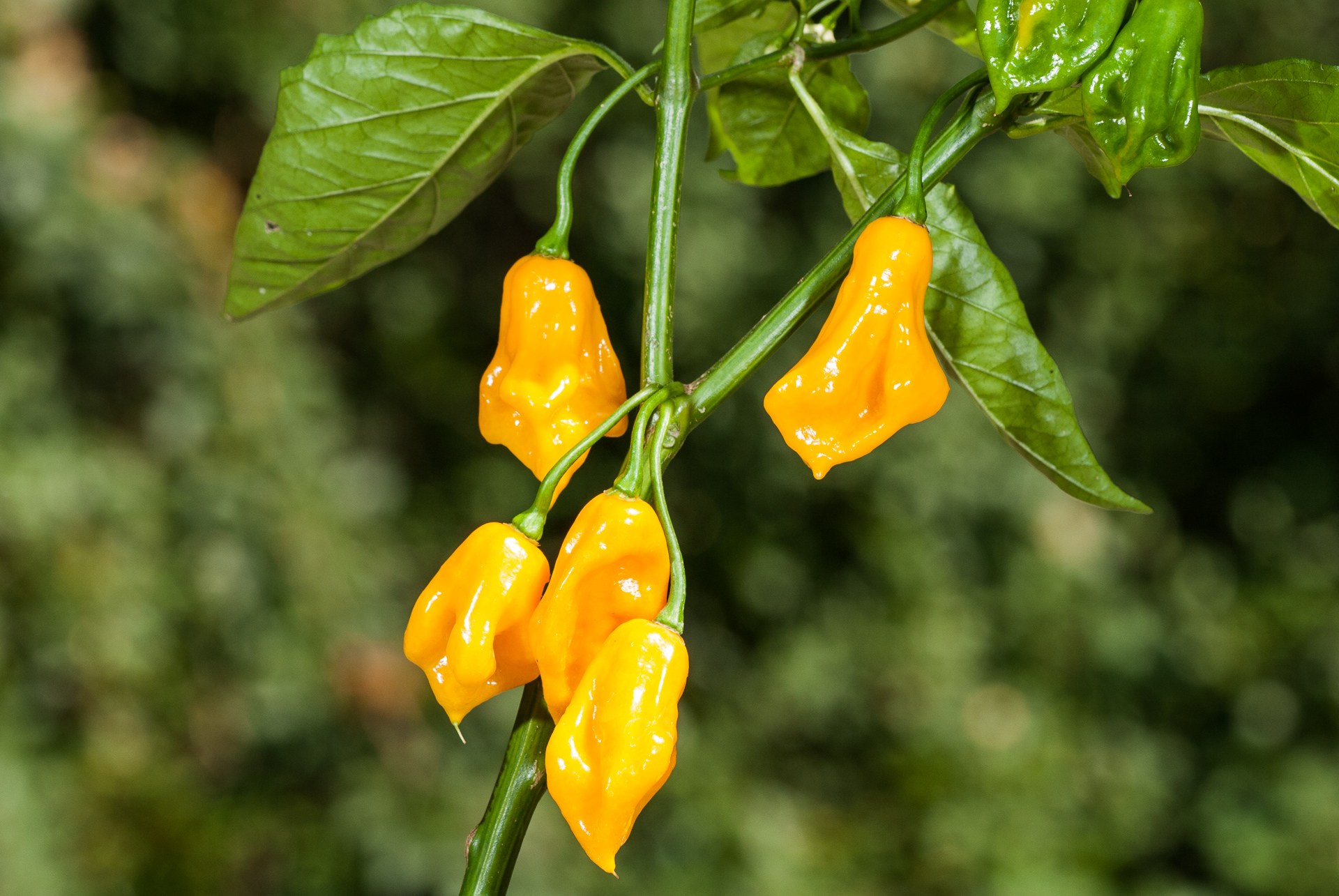 VI012519 - Capsicum annuum - Chilisorte