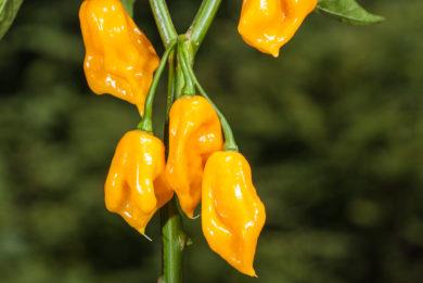 Obstfrüchtiger Gelber - Capsicum annuum - variedad de chile