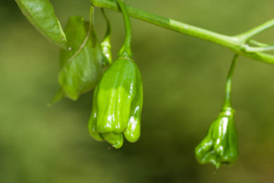 Elefantormany - Capsicum sp.