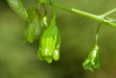 PI 173770 - Capsicum annuum - variedad de chile