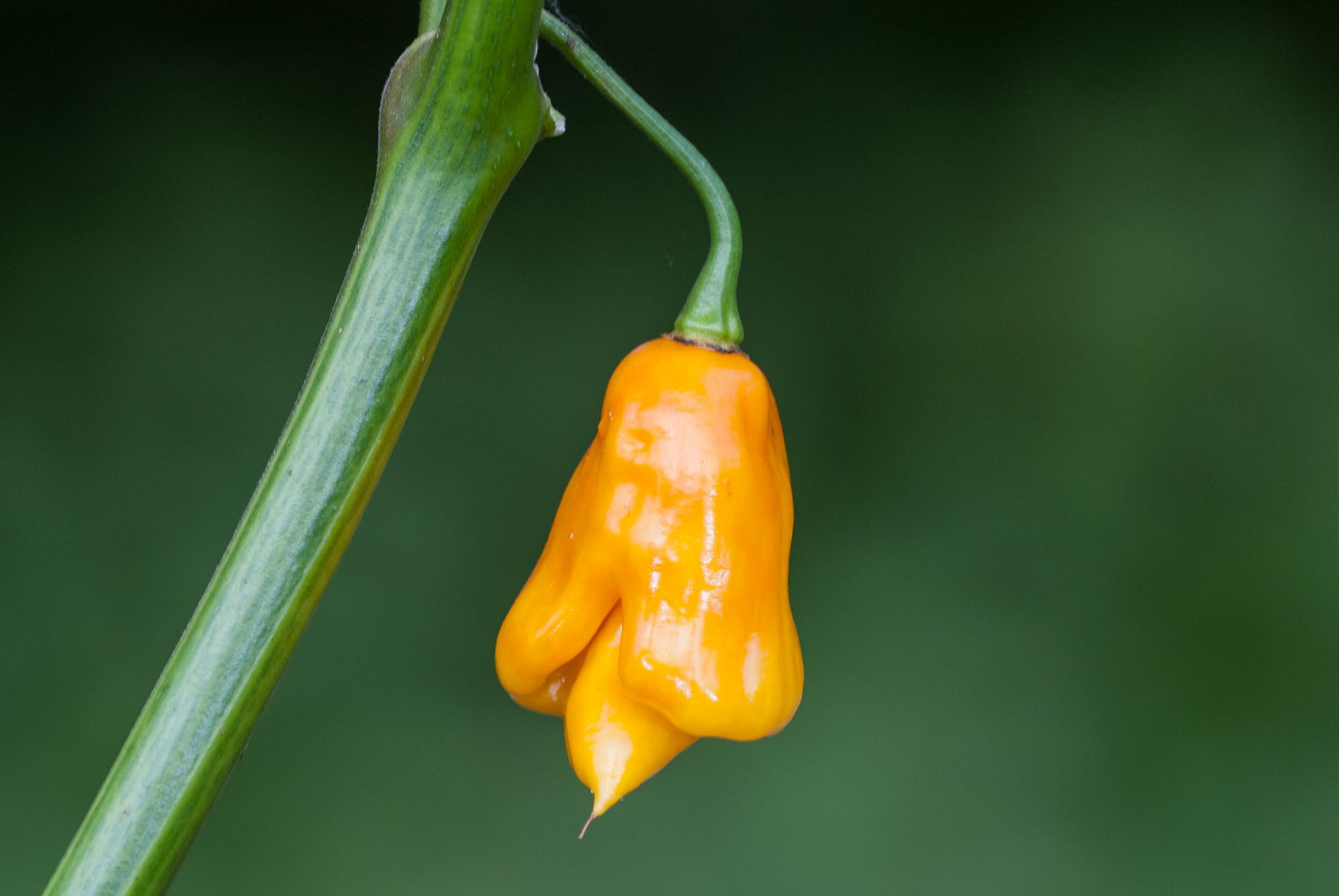 Hot Ecuador - Capsicum sp. - Chilisorte