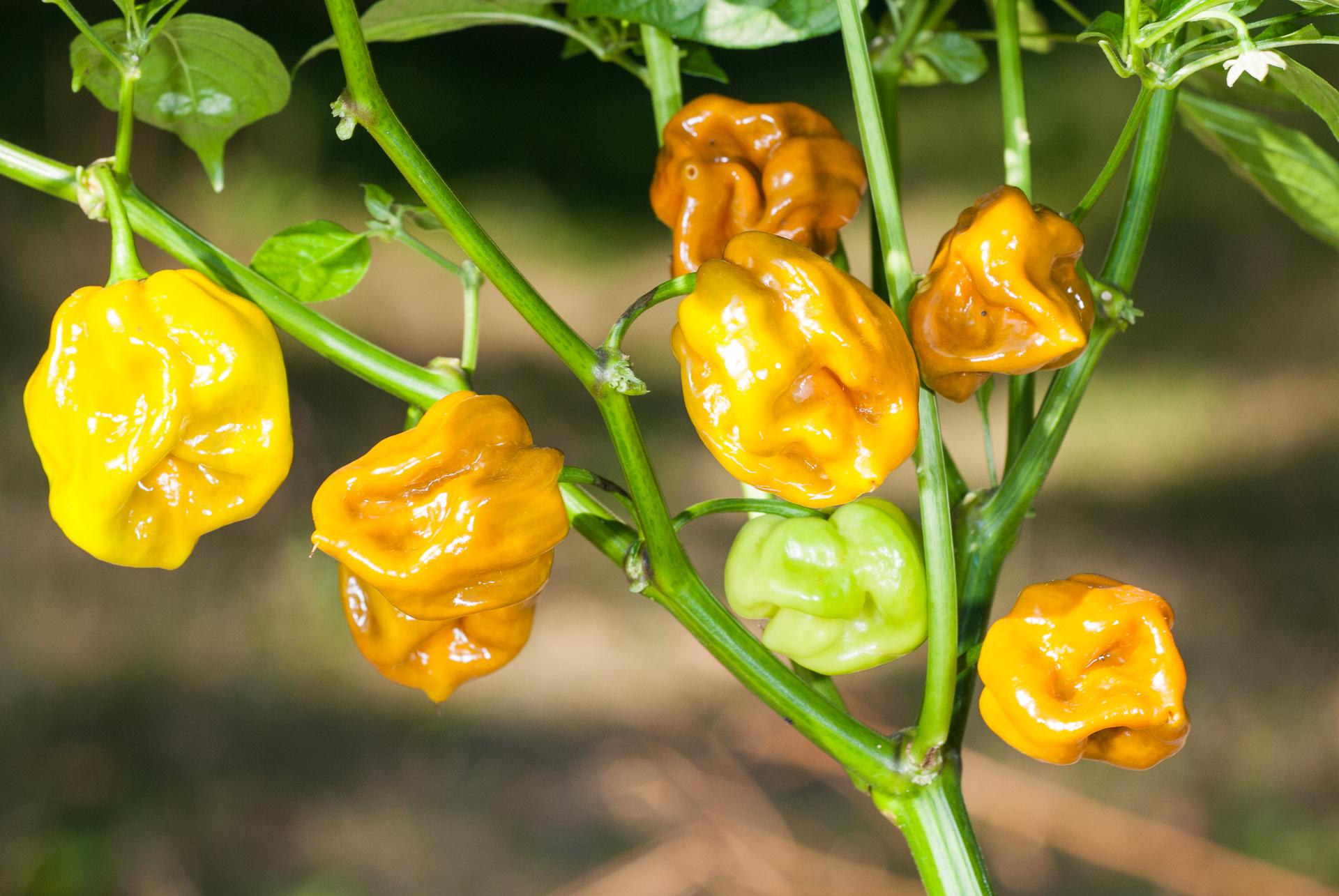 Narva - Capsicum annuum - variedad de chile